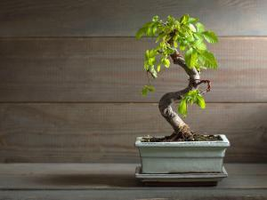 The 6 Best Indoor Bonsai Tree Types How To Care For Them